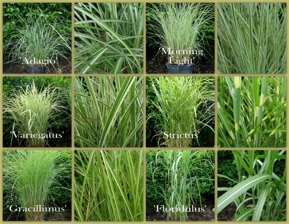 Grasses garden blog for Common ornamental grasses