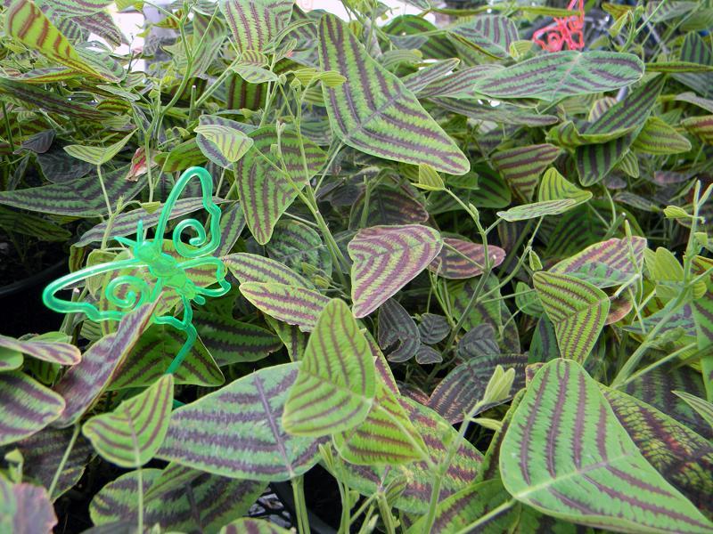 Swallowtail Plant
