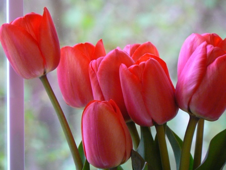 tulips red