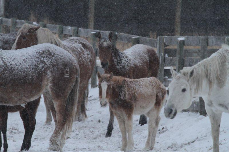 mares and foals covered in ice
