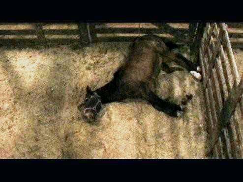 Horse dying after being kicked & trampled