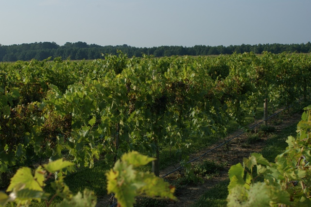 VineyardinSummer