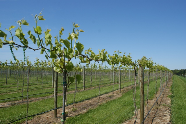 Highwire vines