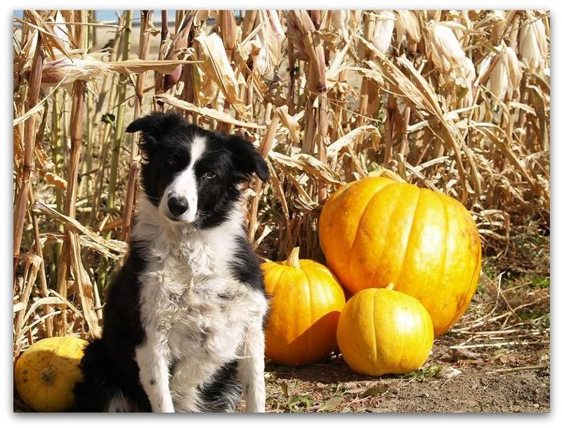 dog pumpkins