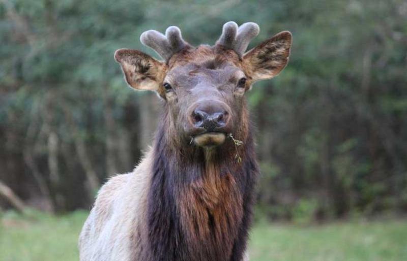 elk nub antlers lisa humphrey tice
