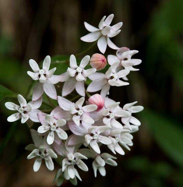 milkweed patty hankins