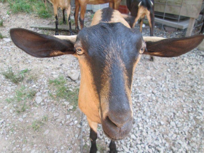 Cranberry Creek Goat
