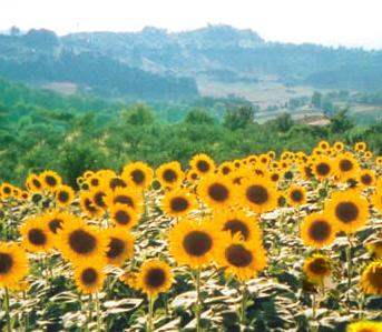 Casperia Sunflower Retreat