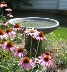 birdbath with coneflower