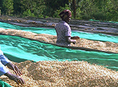 Women sort coffee beans at a washing station.