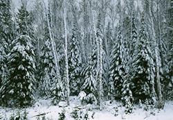 Spruce and Birch in Snow