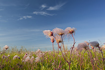 Prairie Smoke Wildflower