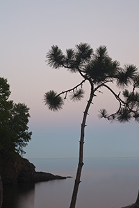 Pine Tree At Iona's Beach