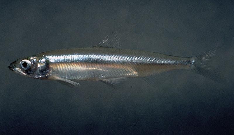 Delta Smelt (Hypomesus transpacificus)