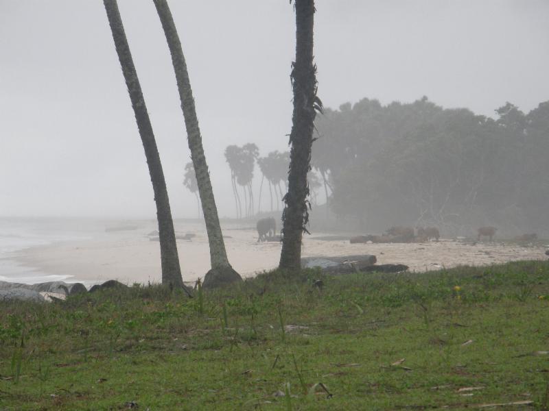 Gabon beach forest elephant forest buffalo