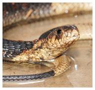 TR bronx cobra