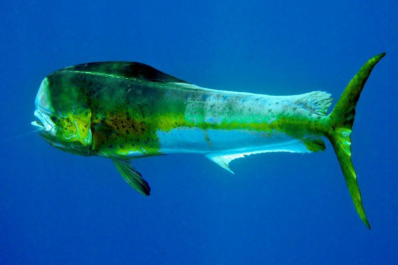 Hooked dolphin