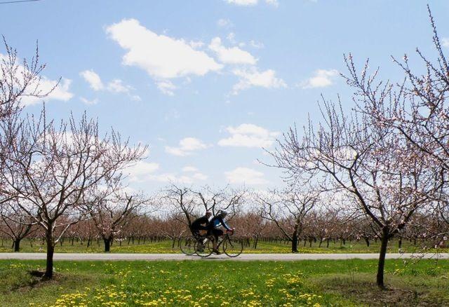 Cherry Blossoms in Niagara Photo Credit: Martin Reis