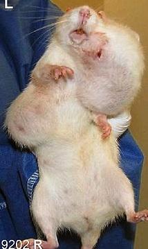 tumors in mice 1