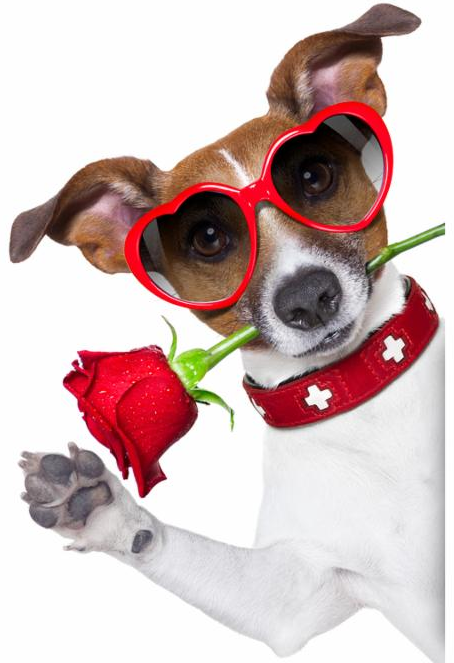 valentines dog with a red rose in mouth isolated on white background beside a white banner or placard