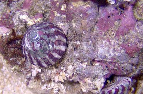 Trochus Snails