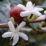 Coffee plant fruit