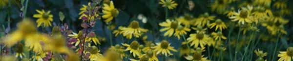 Rudbeckia Laciniata Banner