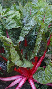 Chard, Swiss 'Rhubarb' red