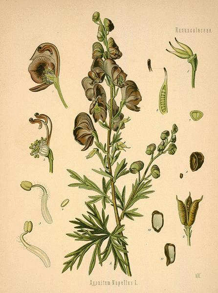 Aconitum - Botanical