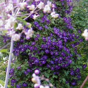 Clematis etoille violettte