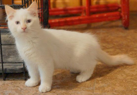 cat kitten blanca