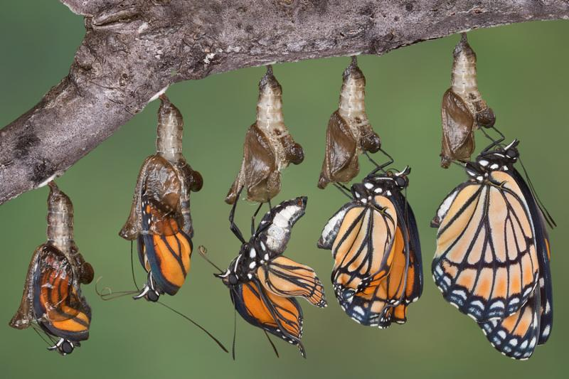 A viceroy butterfly is shown emerging from it s chrysalis in five shots merged together.