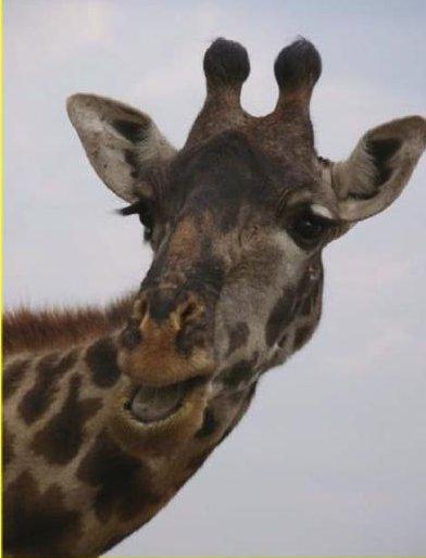 Tanzia Giraff Teaser
