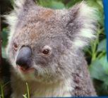 Australian KBear