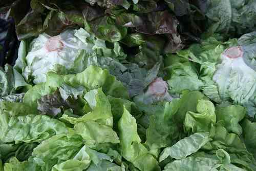 busa farm lettuce