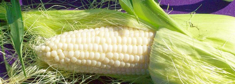 Bucks County corn