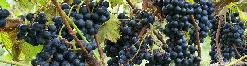 Chambourcin grapes at Crossing Vineyards