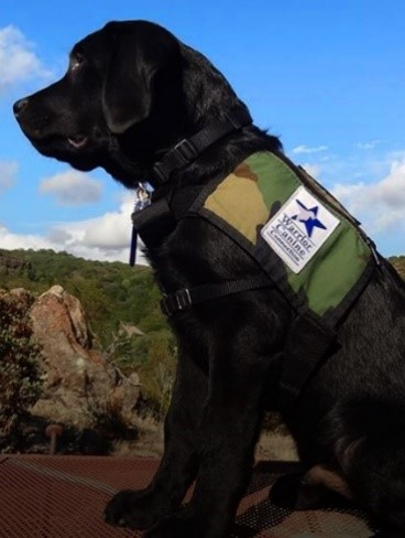 Finalist in the Kimpton Hotel dog guest contest.  Black Labrador with a camouflage vest with a logo of a star and Warrior Canine patch on it.