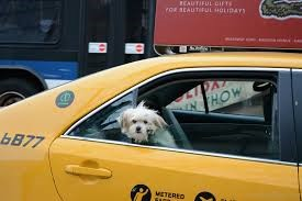 Bischon Frise looking out of a taxi cab