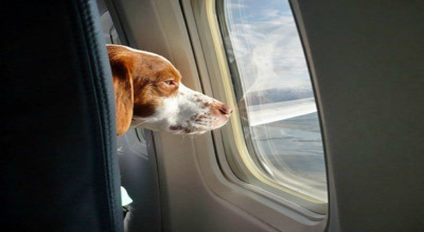 dog looking out of a window of a airplane
