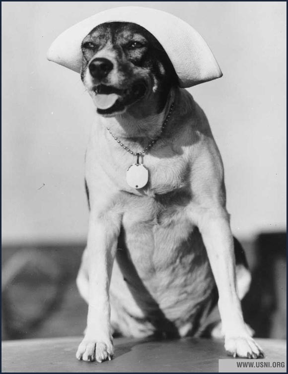 US Navy dog with a sailors hat on
