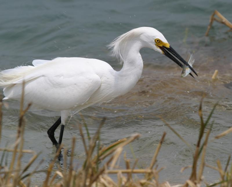 Snowy egret by Sam Bland