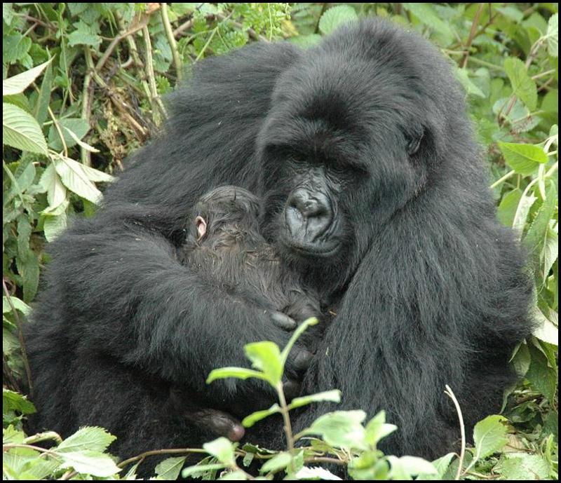 Gorilla Permit