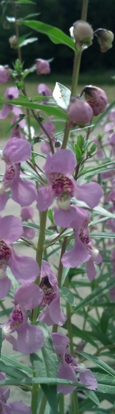 vertical slice angelonia