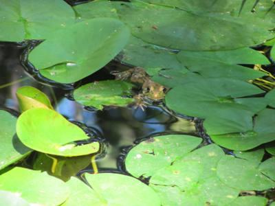 frog lilyleaves