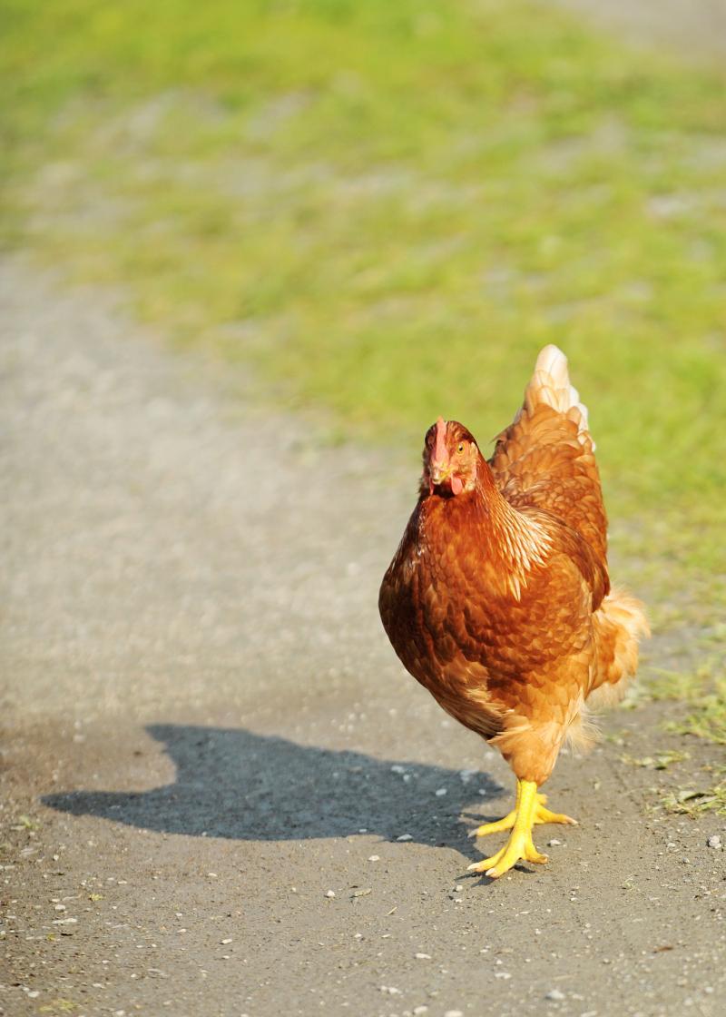 chicken f2t