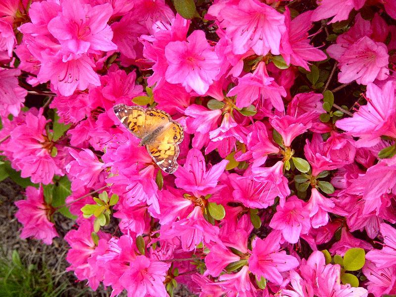 butterfly in azalea