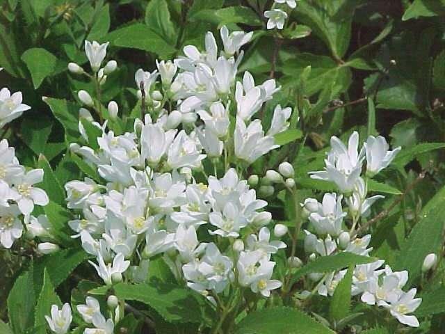 DEUTZIA gracilis 'Chardonnay Pearls'