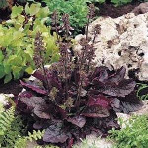 Purple Knockout Salvia