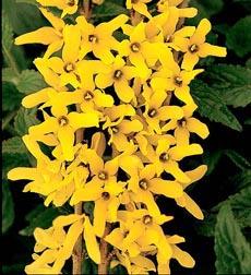 Golden Peep Forsythia